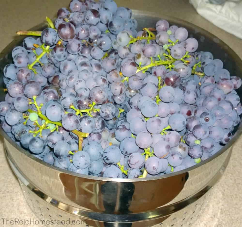 pot full of freshly harvested purple grape clusters