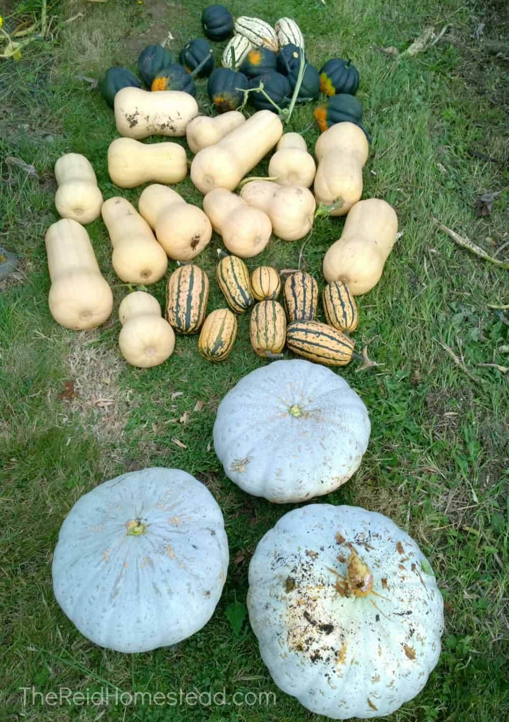 a pile of freshly harvest winter squash in the grass including acorn squash, butternut, delicata and sweet meat