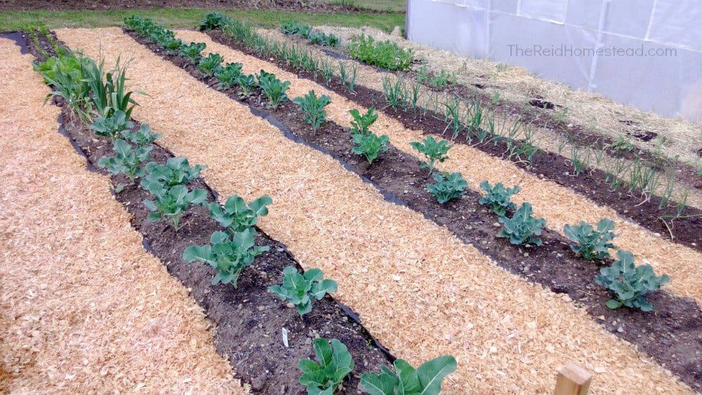 close up shot of our vegetable garden rows with mulched path ways between