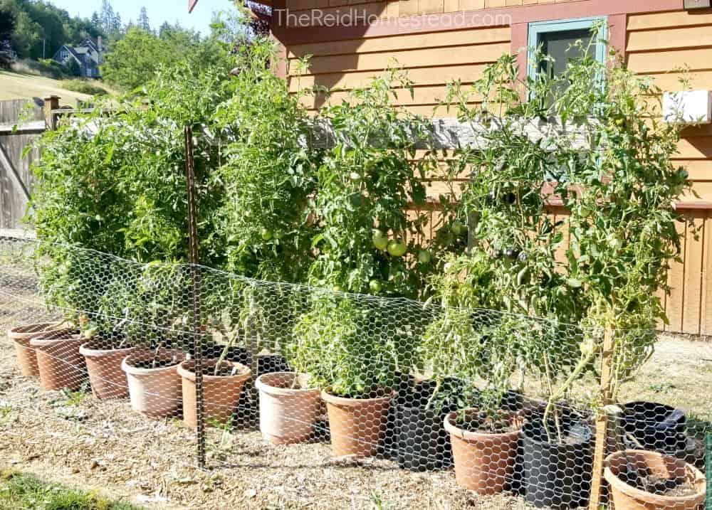 pots of mature tomato plants
