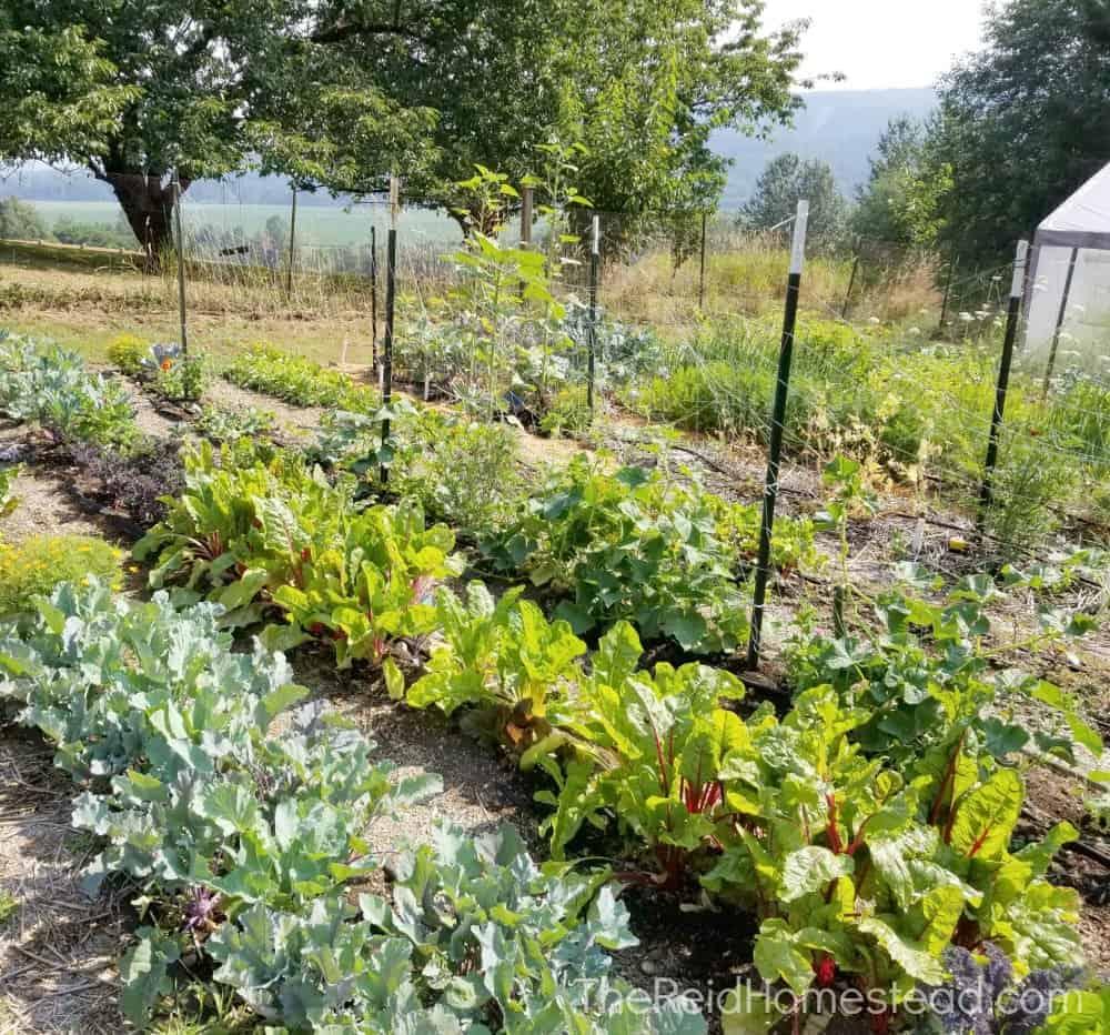 vegetable rows in the vegetable garden - food gardening for beginners