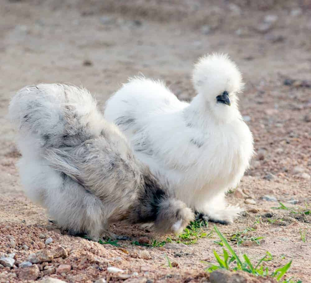 a pair of blue and white silkies