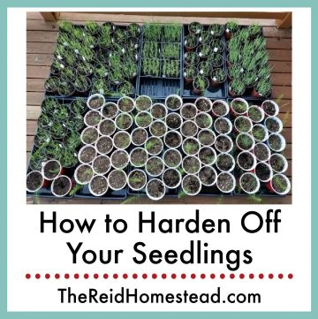 plant starts in trays being hardened off, with text overlay How to Harden off your Seedlings