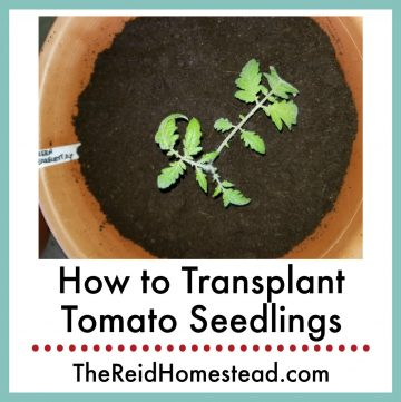 a young tomato seedling planted in a big pot with text overlay How to Transplant Tomato Seedlings