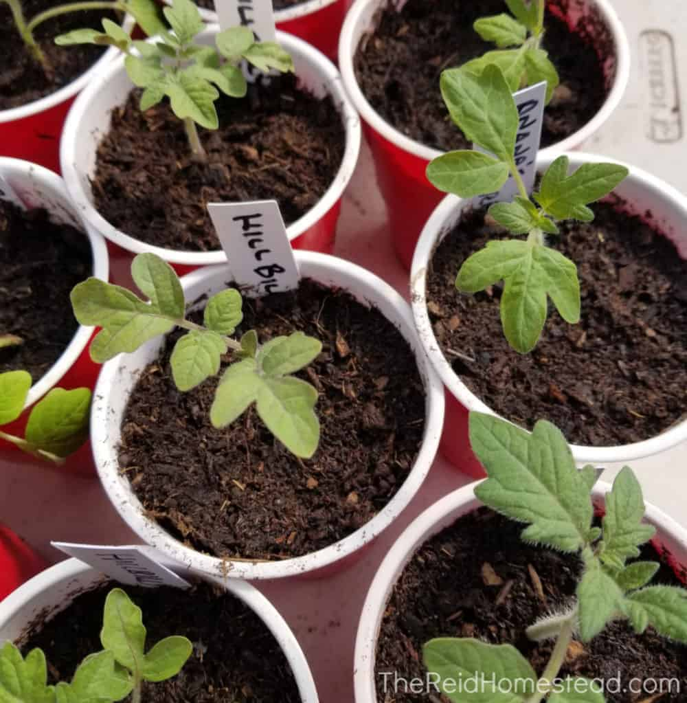 freshly transplanted tomato seedlings in solo cups