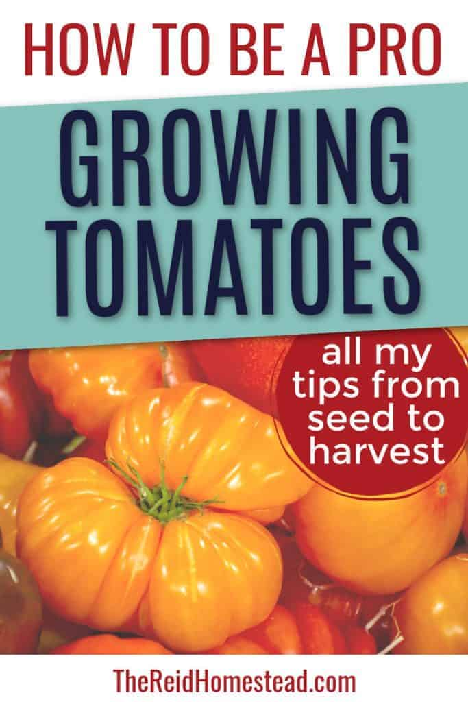 pile of heirloom tomatoes with text overlay How to Be A Pro - Growing Tomatoes