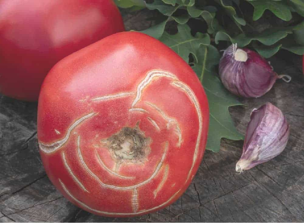 a close up view of a tomato with concentric circling cracks around the top of it