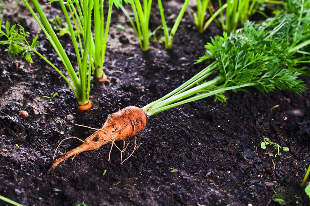 carrots growing in vegetable garden with a ripe one laying on the soil