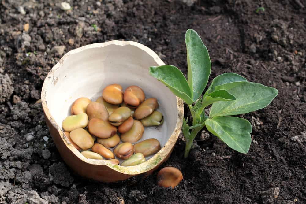 photo of a bowl full of broad beans/fava beans next to a seedling in the vegetable garden