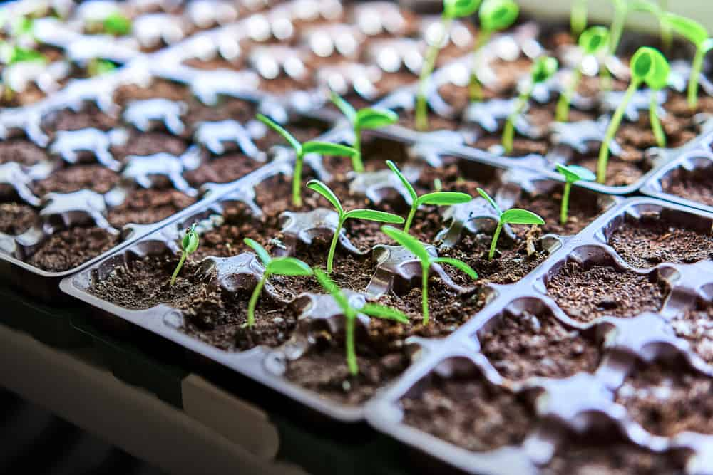 photo of seed starting flats with seedlings growng