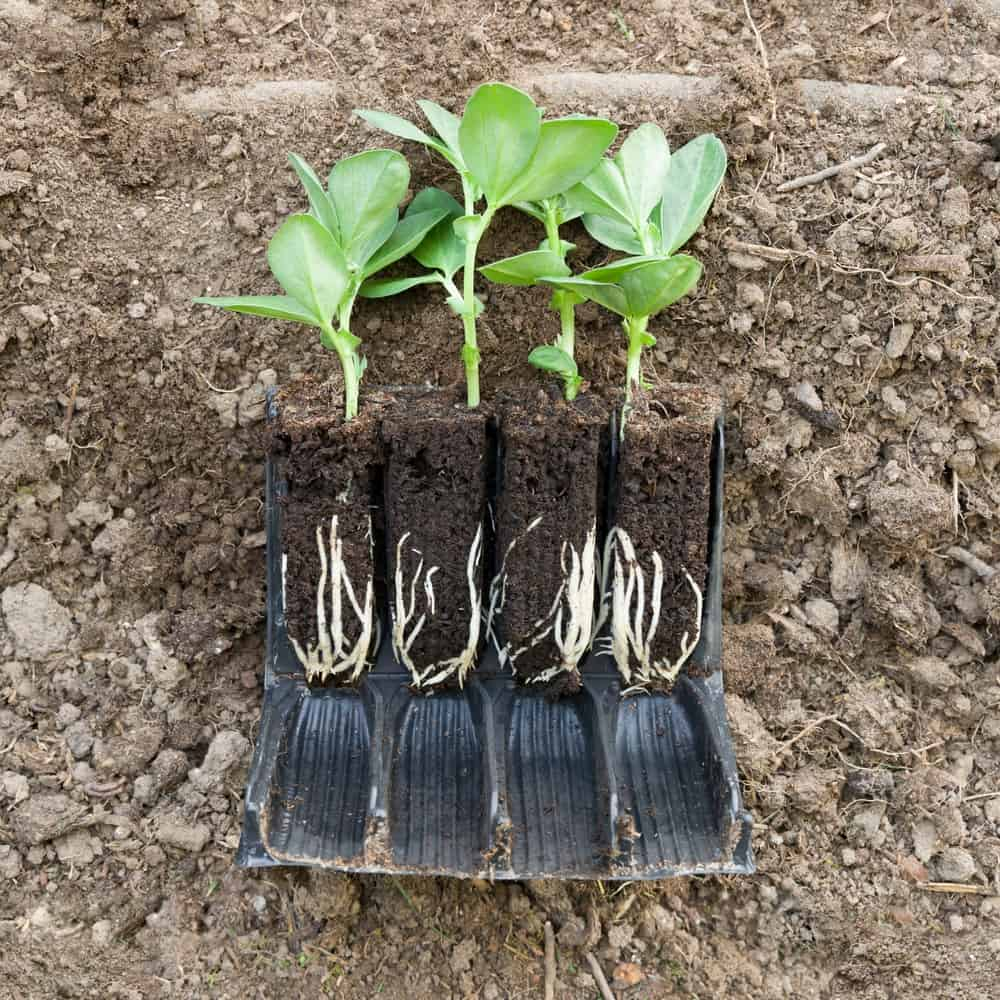 photo of seedlings where the pot has been cut open showing the roots of the plants