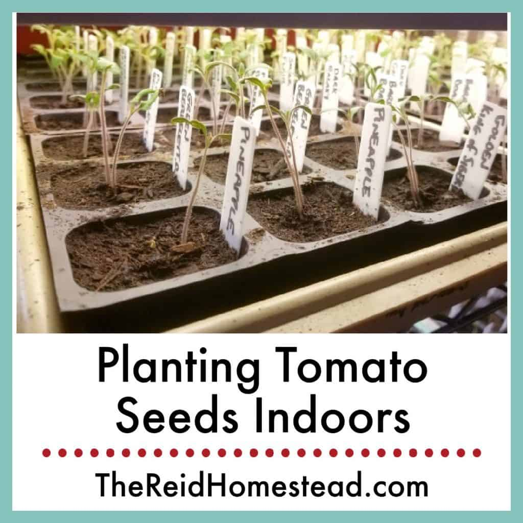 photo of tomato seedlings in a plant tray with text overlay Planting Tomato Seeds Indoors