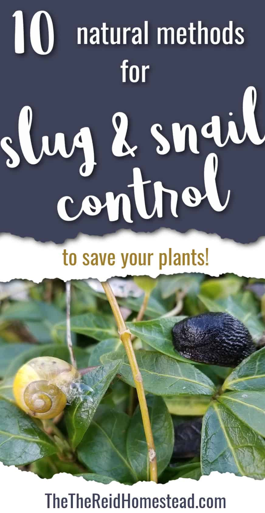 photo of a snail and slug on a vinca plant with text overlay 10 natural methods for Slug and Snail Control