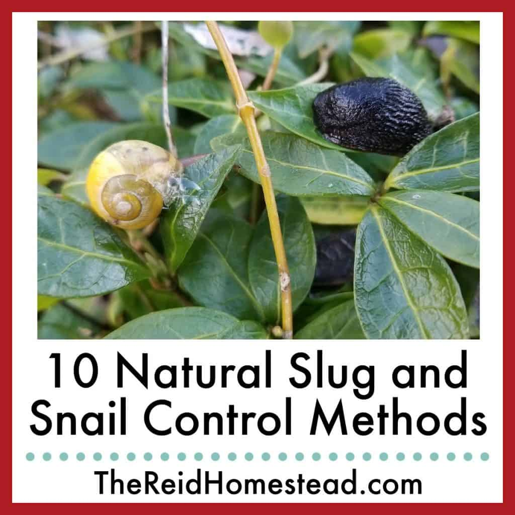 photo of a snail and a slug on a vinca plant with text overlay 10 Natural Slug and Snail Control Methods