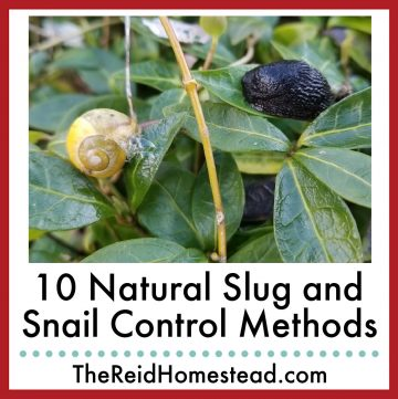 photo of a snail and a slug on a vinca plant with text overlay 10 Natural Slug and Snail Control Methods