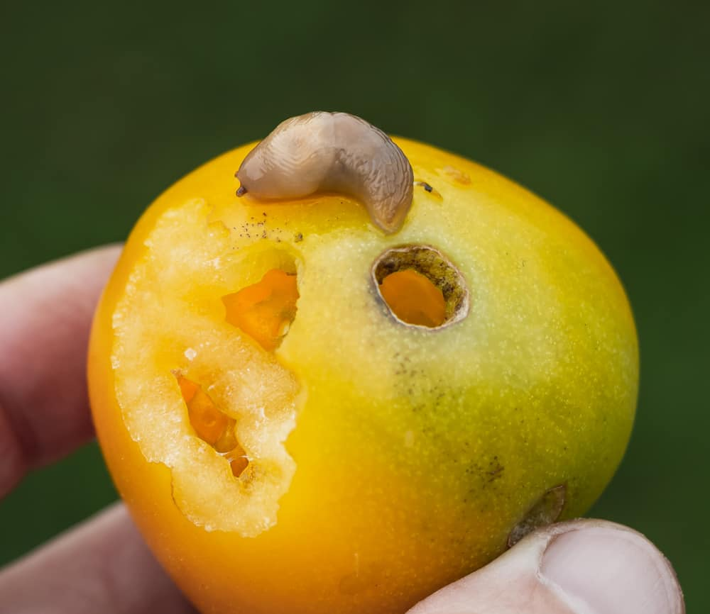 a yellow tomato with a slug on it showing the damage the slug has done