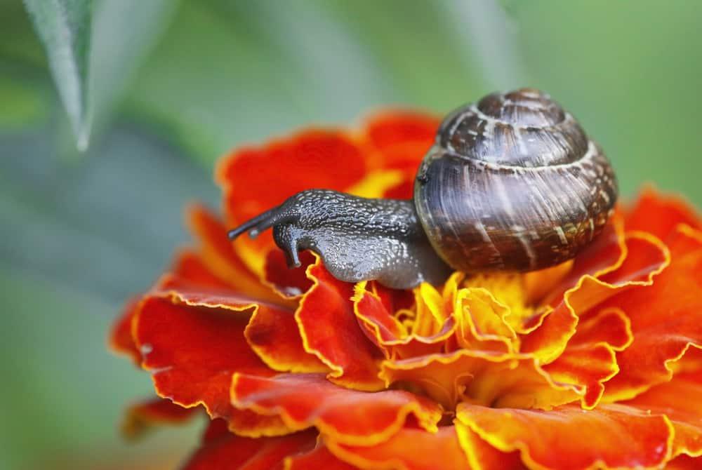 a snail eating a marigold flower