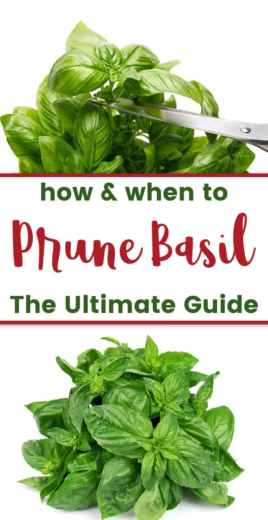 photo of basil plant being pruned with scissors with text overlay How & When to Prune Basil - the Ultimate Guide