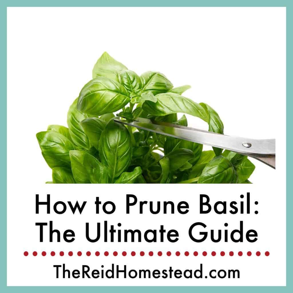 basil plant being pruned with scissors with text overlay How to Prune Basil: The Ultimate Guide