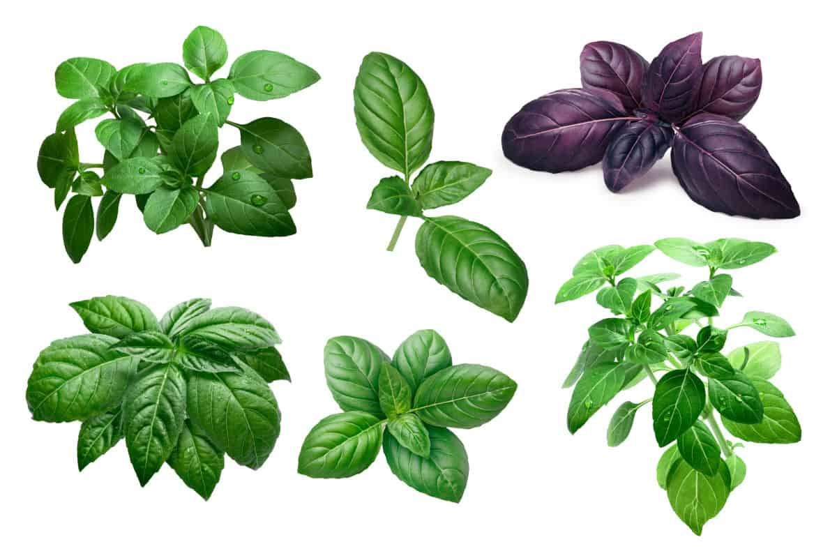 photo showing leaves from 6 different basil varieties