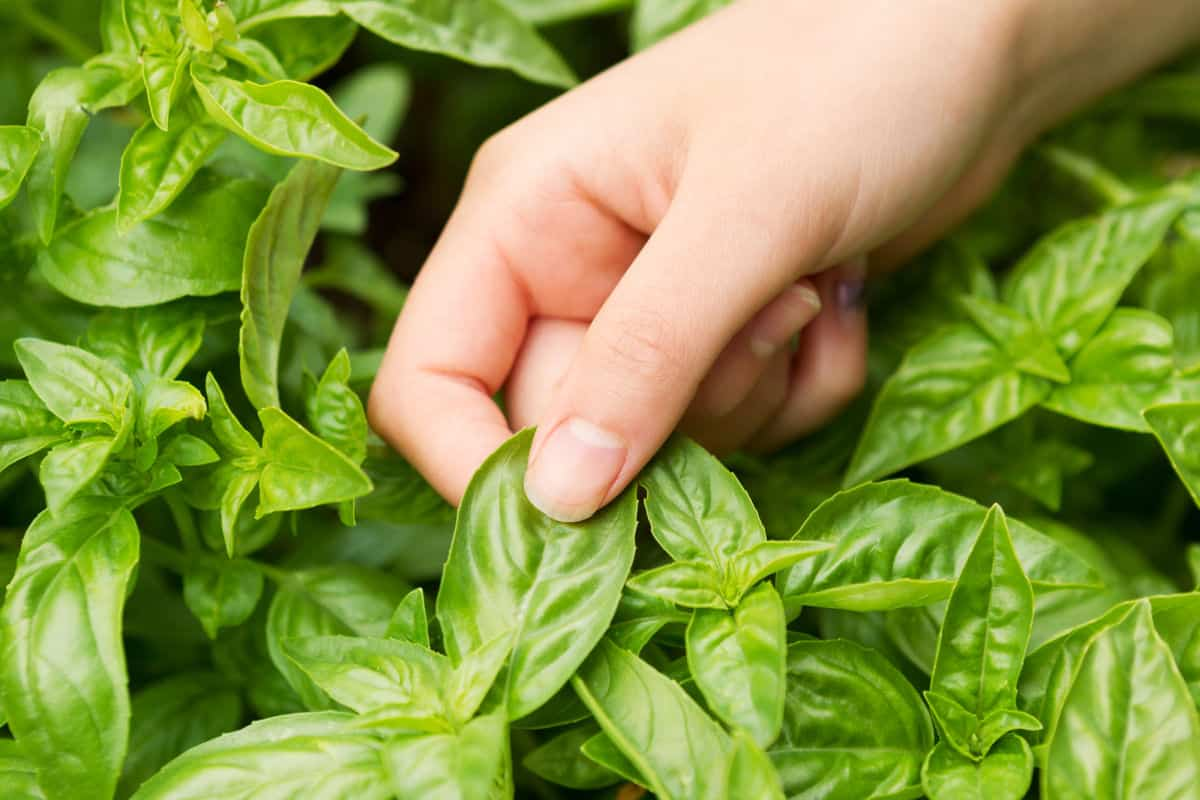a womens hand pinching a large basil leaf off of a basil plant