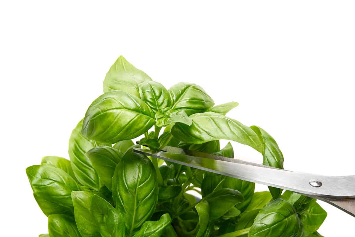 photo showing where to prune basil plants with scissors