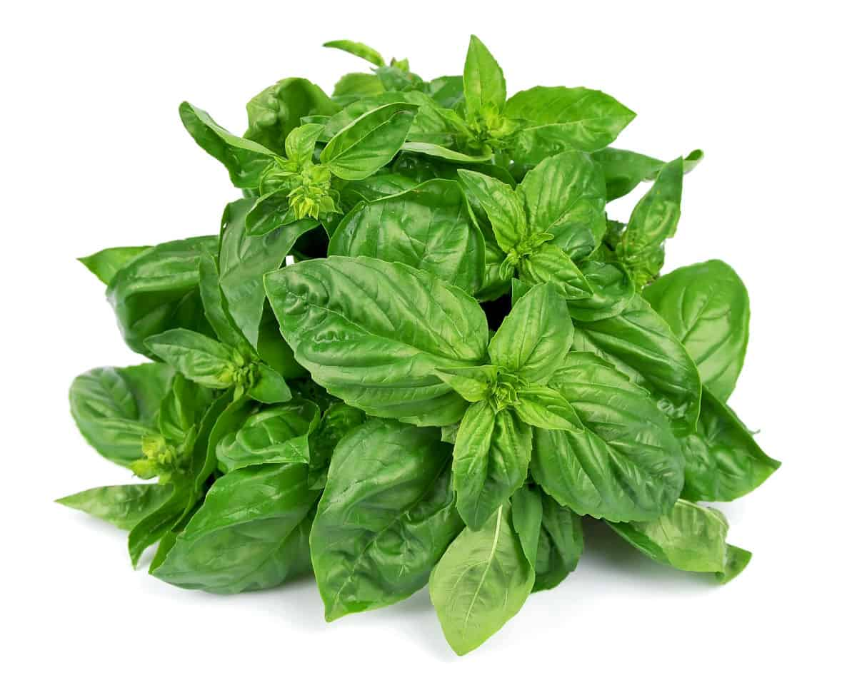 photo of a pile of pruned/harvested basil clippings