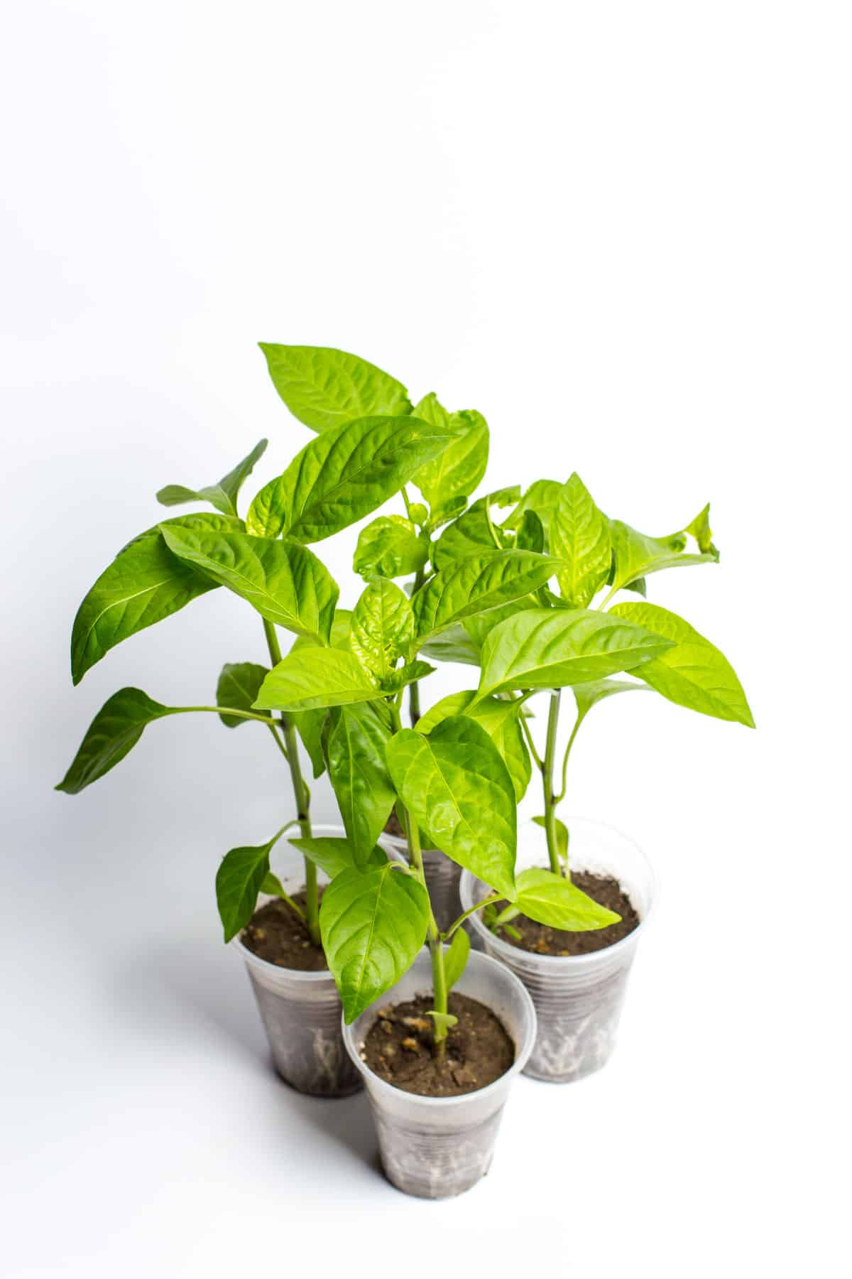 photo of 3 young basil seedlings in plastic cups