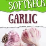 garlic bulbs and cloves with text overlay The Differences Between Hardneck vs Softneck Garlic