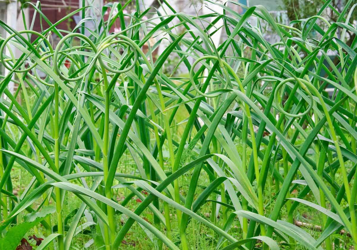 garlic plants in garden with garlic scapes